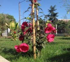 Hibiscus planet griotte