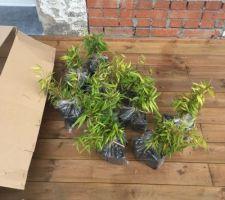 30 premiers bambous sur les 250 nécessaires pour la haie du jardin