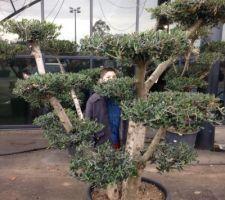 Notre futur olivier bonsaï !!! C'est celui ci!