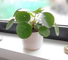 Chinese money plant = Pilea peperomiodes