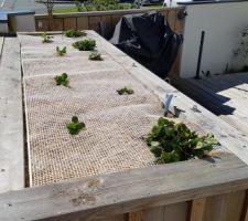 Voici ma plantation de fraisiers : 1 - Enkadrain 2 - une couche de terre 3 - les fraisiers 4 - geotextile 5 - paillage pour retenir l'humidité du sol 6 - grillage pour que mu @#$* de chat arrete de chier dedans !
