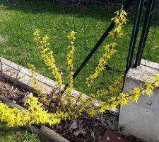 Forsythia en fleurs