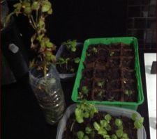 Semis d'hibiscus des maraies