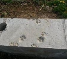 les traces de pattes de chat dans le beton