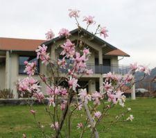 magnolia loebneri leonard messel