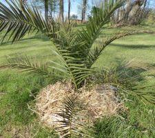 paillage d un des palmiers deplaces cet automne