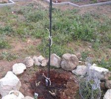 Arbre de judée et fleurs amorocailles au pied de l'arbre