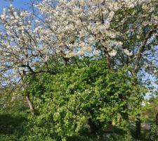 pendant ce temps la cerisier et cognassier fetent le printemps