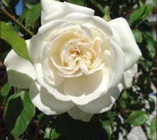 Rose fée des neige ou  iceberg