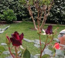 Rosier du jardin, promesse de floraison...