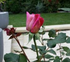 rosier du jardin promesse de floraison