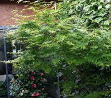 L'érable japonnais et fin de la floraison du camélia...