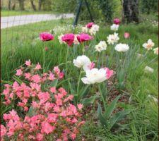 bordures enfin taillees tulipes a fleur de pivoine et azalee