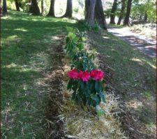 massif de rhododendrons desherbe et paille