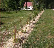 haie d arbustes desherbee et paillee