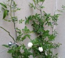 le rosier de banks avec ses deux roses
