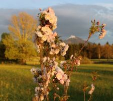 cerisier du japon fastigie au soleil couchant prunus serrulata amanogawa