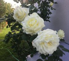 rosier en fleur