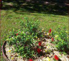 En plein soleil, massif de millepertuis arbustifs  ( floraison jaune ) et de sauges et oeillets d'Indes
