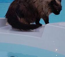 le chat examine la nouvelle piscine le spa est heureusement eteint