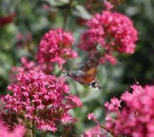 sphinx colibri sortant sa trompe pour aspirer du nectar