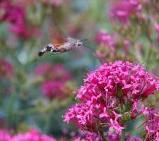 Sphinx colibri aspirant le nectar d'une valériane