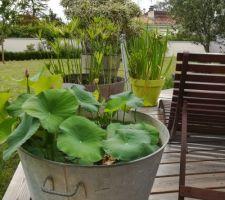 lotus cultive en bac