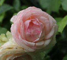 Les roses...les roses....les roses!!....une passion