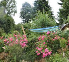 Les roses....une passion surtout avec le hamac après le boulot!!