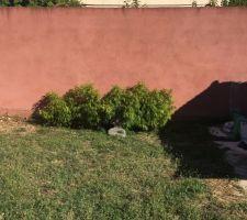La pousse des bambou fargesia  En gros en un an cela na pas prIx de hauteur alors qu'ils sont sensés mesurer dans les 3m de haut   Mais cela cest étoffer tout de même et un bouda de 70cm est maintenant présent  Hâte de refaire la pelouse qui gâche tout :/
