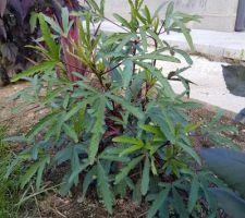 Hibiscus sabdariffa ou hibiscus karkadé