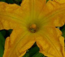 Au potager : qui se cache parmi les fleurs de courgettes ???