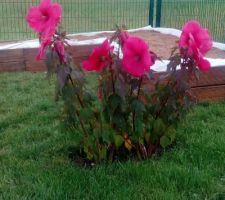 Hibiscus en fleurs !!!!