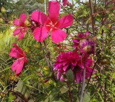 Haie d'hibiscus