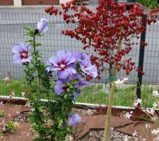Hibiscus syriacus et fusain ailé