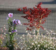 Hibiscus syriacus, fusain ailé et gauras