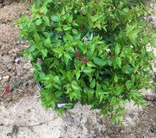Plantation de 2 Abelia grandifolia