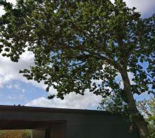 """Le chêne qui """"bombarde"""" le toit du garage : feuilles, branches et glands."""