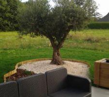 Notre bel olivier qui nous a demandé tant de labeurs.