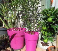 Laurier roses et agrumes!  ( pour la future terrasse!)