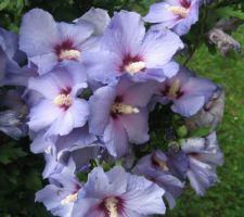 L'Oiseau bleu (hibiscus syriacus)