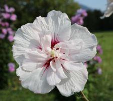 China chiffon (hibiscus syriacus)