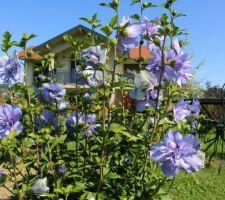 Blue chiffon (hibiscus syriacus)