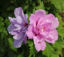 Ardens ? (hibiscus syriacus)