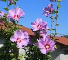 A la conquête du ciel (Russian violet, hibiscus syriacus)