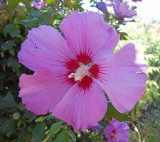 Russian violet (hibiscus syriacus)