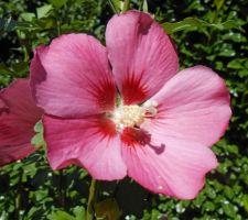 Woodbridge (hibiscus syriacus)