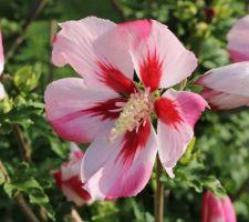 Hamabo (hibiscus syriacus)