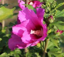 Russian violet très foncé (hibiscus syriacus)