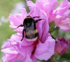 'Ardens' (hibiscus syriacus)